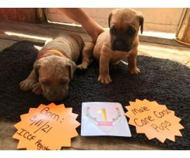 Registered Male Cane corso puppies