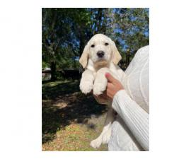 Family raised AKC White Lab Puppies