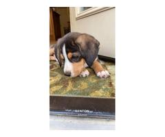 Male Beagle puppy needing new home