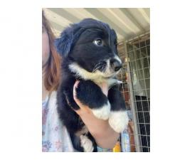 3 Border Collie puppies for Sale
