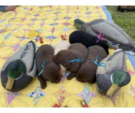 Litter of 5 AKC Labrador puppies