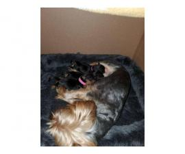 3 Purebred Yorkshire puppies for sale