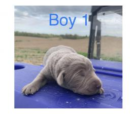 2 male Silver Lab Puppies