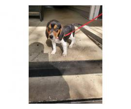 Beagle puppy for adoption