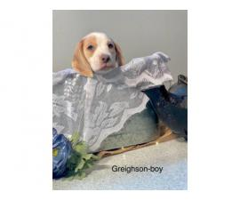 UKC registered Beagle puppies