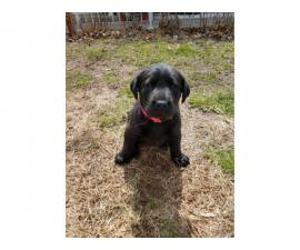 Purebred AKC reg black lab puppies