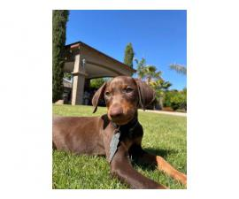 Male Doberman puppy looking for new home
