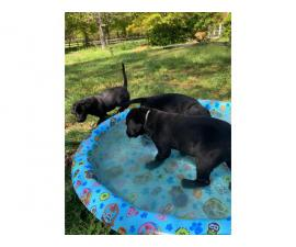 2 female black lab puppies