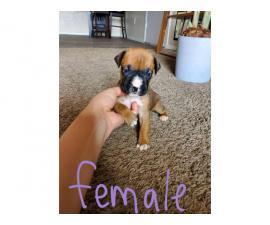 5 adorable female boxer puppies