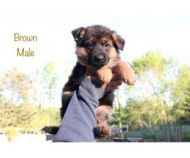 9 beautiful German Shepherd puppies for sale