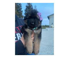 8 weeks old Akc Registered German Shepherd puppies for sale