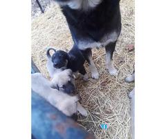 Anatolian shepherd puppies for sale 2017