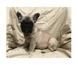 Adorable French bulldog puppy 8 weeks old $ 2000