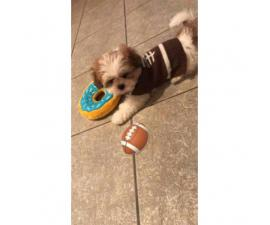 Adorable male puppy shih tzu looking for a good & safe home
