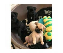 Sweet AKC registered pug puppy