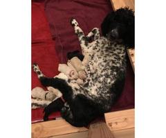 AKC Standard Poodle puppies $1500