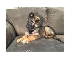 AKC German Shepherd Puppies  Just turned 8 weeks old $1500