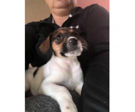 Beautiful Fox Terrier female puppy ready for her new home