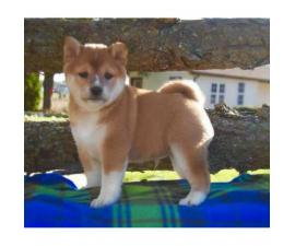 Shiba Inu puppies for sale comes with a genetic health guarantee