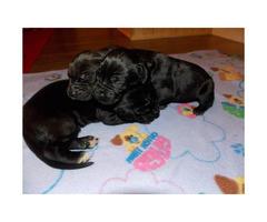 3 Black Males CKC registered Great Dane puppies