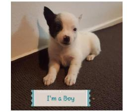3 blue heelers that need a fantastic loving home