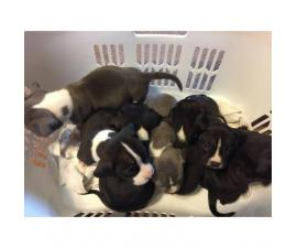 7 beautiful Full blooded Bully Pups