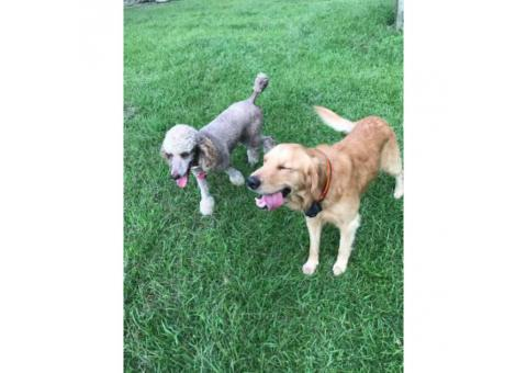 6 F1 Goldendoodle puppies for sale, 3 males and 3 females