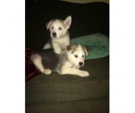 3 boy husky puppies available