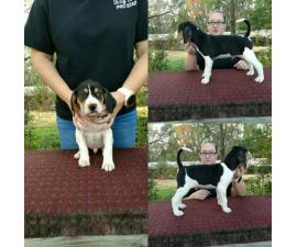 7 weeks old Treeing Walker CoonHound puppies available