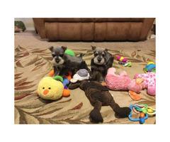 Aca registered 3 sweet mini Schnauzer puppies