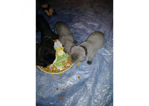 Purebred Cane Corso puppies for sale $600 firm