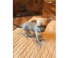 Purebred Merle Chihuahua Puppies