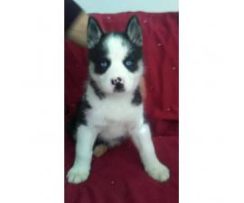Husky Puppies 2 Brown & White males and 4 Black & White females