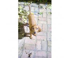 4 month old female purebred redbone coonhound