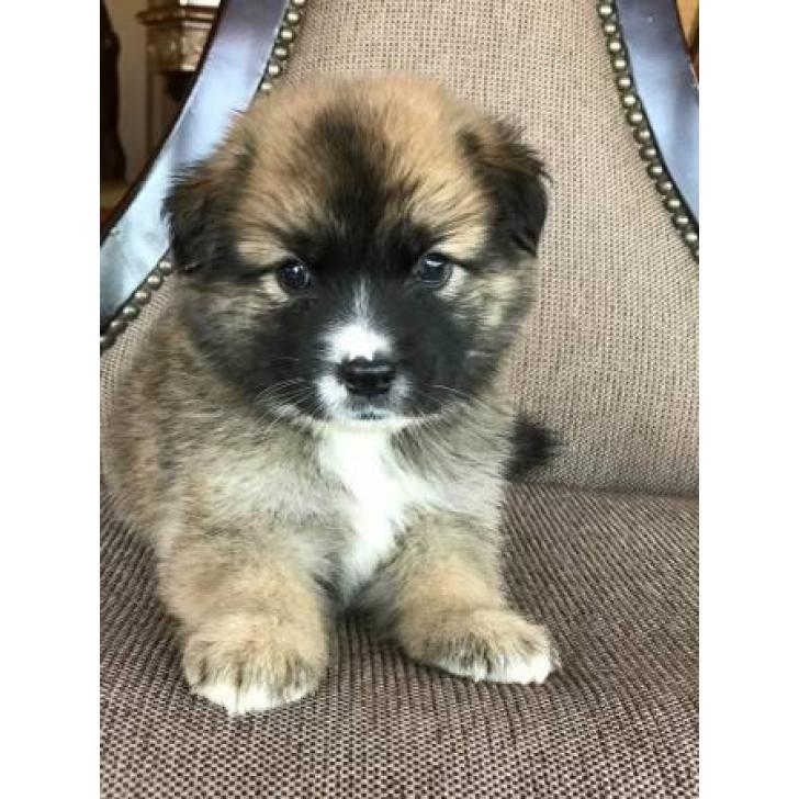 Beautiful Fluffy Pomsky puppies 2017 8 weeks old in Las Vegas, NV USA
