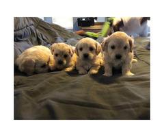 Beautiful teacup Maltipoo Hypoallergenic  Puppies
