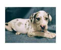 AKC registered Great Dane Puppies European bloodline