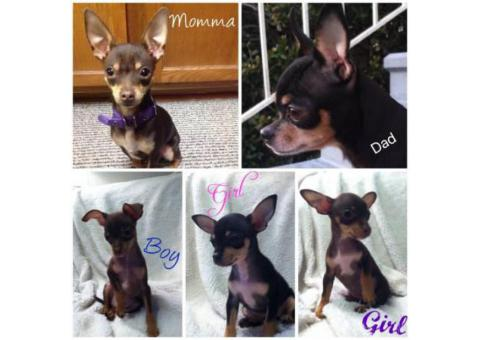 Toy Chihuahua Puppies - $500