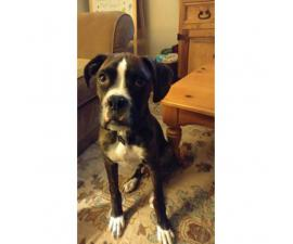 5 month old male full blooded brindle boxer