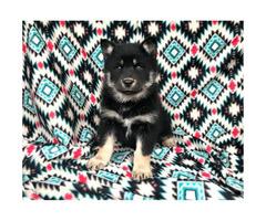 Shepherd malamute mix puppies