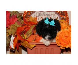 CKC registered Tiny Toy Poodle Puppies