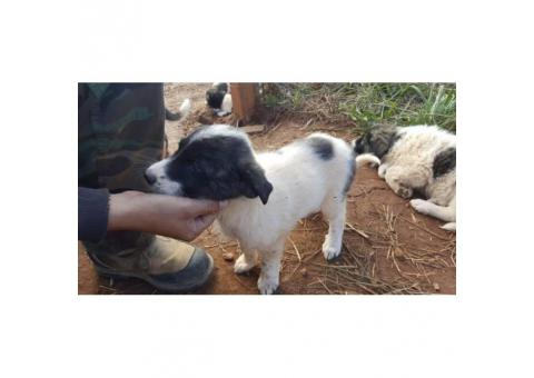 Anatolian / Great Pyrenees puppies 7 remaining from litter of 9