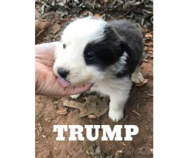 Full blooded Australian shepherd puppies with tails docked