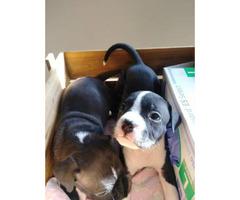 Razor Edge Bully Puppies for Sale