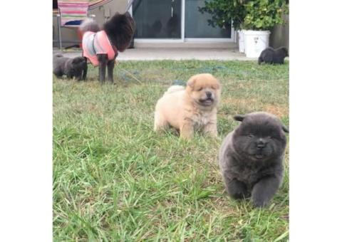 Adorable chow puppies for sale pure bred