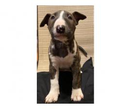 4 male bull terrier puppies