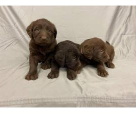 F1 Standard Labradoodle puppies