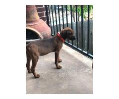 Purebred redbone coonhound puppy