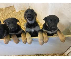 9 weeks old AKC registered German shepherd puppies