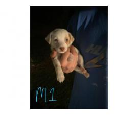 2 male Jack Chi Puppies for Sale